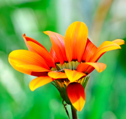 gazania side view