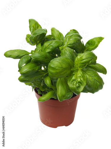 Basil herb on white
