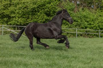 Laufendes Pferde auf der Weide