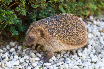 Adult hedgehog in daylight