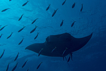 A manta in the deep blue ocean