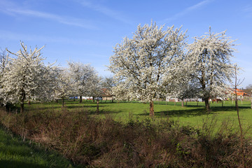 Landscape with cherry trees in blossom, Haspengouw, Belgium