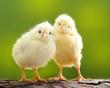 Leinwanddruck Bild - Cute little chicken