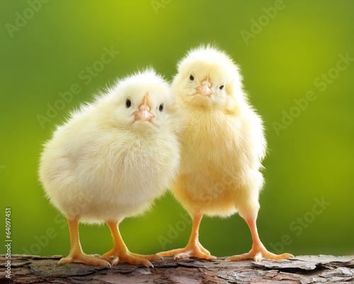 Leinwanddruck Bild Cute little chicken
