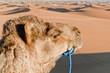 Camel resting at Erg Chebbi, Morocco