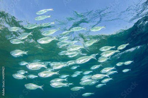Mackerel Fish in Ocean