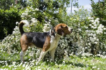 Profilo di un cane beagle