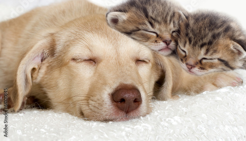 puppy and kittens sleeping together - 64100845