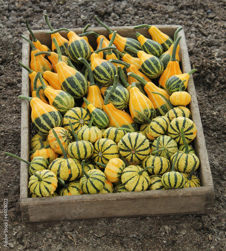 A Wooden Box Containing Freshly Picked Pumpkins.