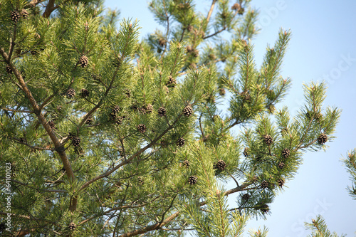 Pine tree branches with cones in spring over blue sky