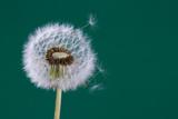 Dandelion seeds - 64102298