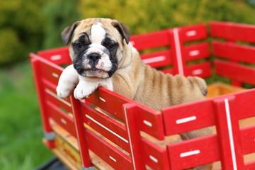 English Bulldog Puppy in Red Wagon