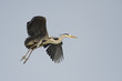 A blue black heron