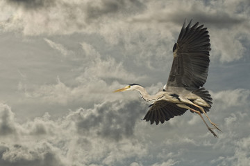 A blue black heron