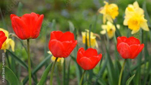 Red tulips in the garden. Sliding camera