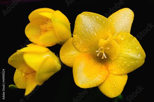 Gocce di rugiada su fiore giallo con sfondo nero