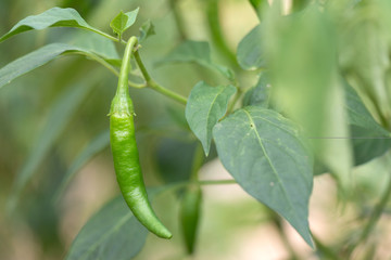 Ripe green hot chili peppers on a tree