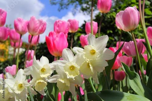 Papiers peints Narcisse Narcisses et tulipes