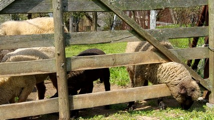 A sheep's head stuck in a wooden fence