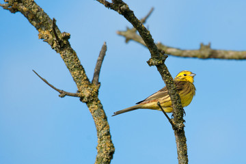 Yellowhammer sitting on a branch