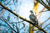 Gołąb na gałęzi drzewa - 64114466