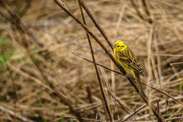 Yellowhammer sitting on a straw on a field