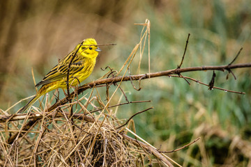 Yellowhammer sitting on a branch in nature