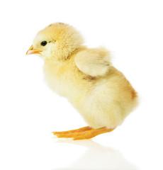 chicken on the white background