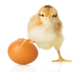 Chick and egg on white background
