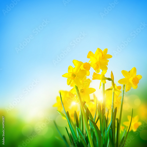 Poster Narcis Daffodils Flowers In Spring