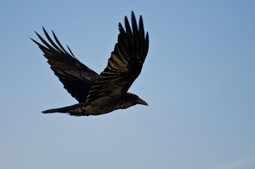 Common Raven Flying in a Blue Sky
