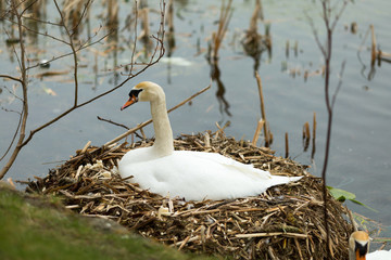 Swan at nest