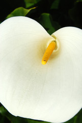 All the sensuality of a flower - Calla Zantedeschia - 193