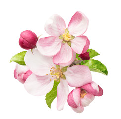 apple tree blossoms with green leaves