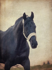 portrait of beautiful black horse at cloudy evening. art toned