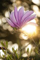 Magnolienblüte im Gegenlicht