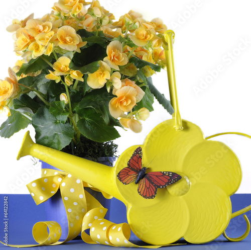 Yellow Begonia potted plant with daisy watering can