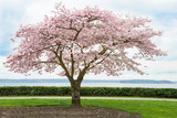 Japaanese Cherry Tree in Bloom on Coast