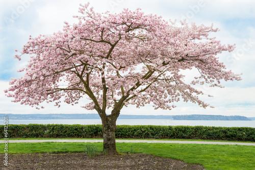 Japaanese Cherry Tree in Bloom on Coast - 64125201