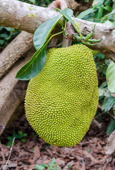 a giant jackfruit