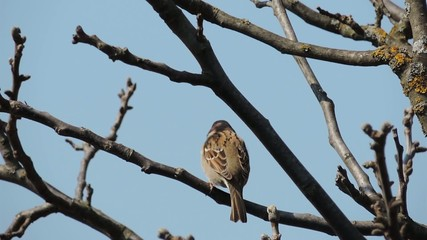 Sparrow sitting on a branch and tweets