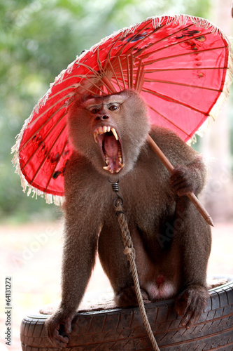 Monkey, Long-tailed macaque with red umbrella and grimace