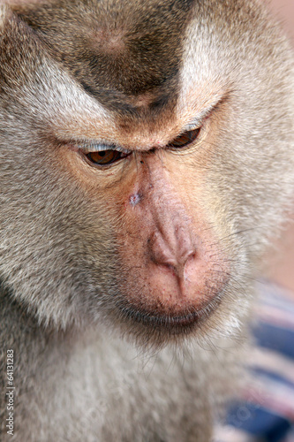 Monkey, Long-tailed macaque