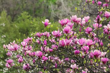 Pink marnolia