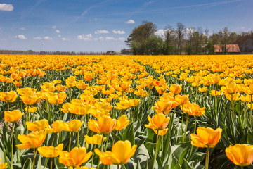 Field of orange and yellow tulips and a farm