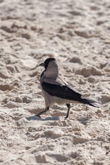 One hooded crow
