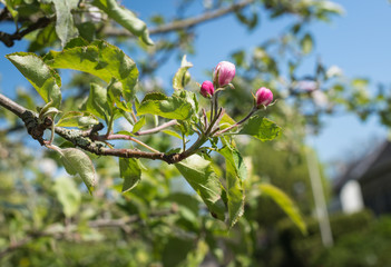 Pink budding apple tree