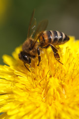 Bee collecting pollen on yellow dandelion. macro.