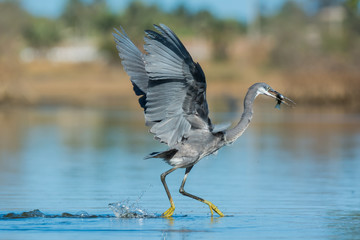 Western Reef Heron dancing away to keep its fish safe