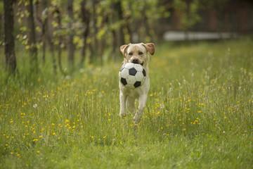Labrador retriever con palla